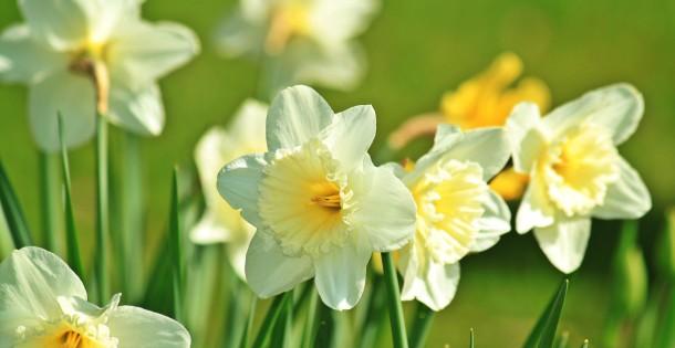 daffodil-733877_1920